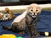 Cheetah,  cougar and serval kittens available for sale