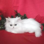 Exquisite and Excellent Teacup Persian Kittens for sale