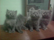 Persian cat & kittens for sale at reasonable rates.