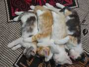 Purssian Babbies
